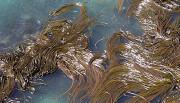 foresta kelp