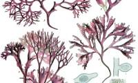 Chondrus_crispus_-_Köhler–s_Medizinal-Pflanzen-034
